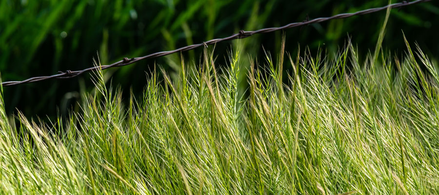 Cheatgrass is dangerous for pets