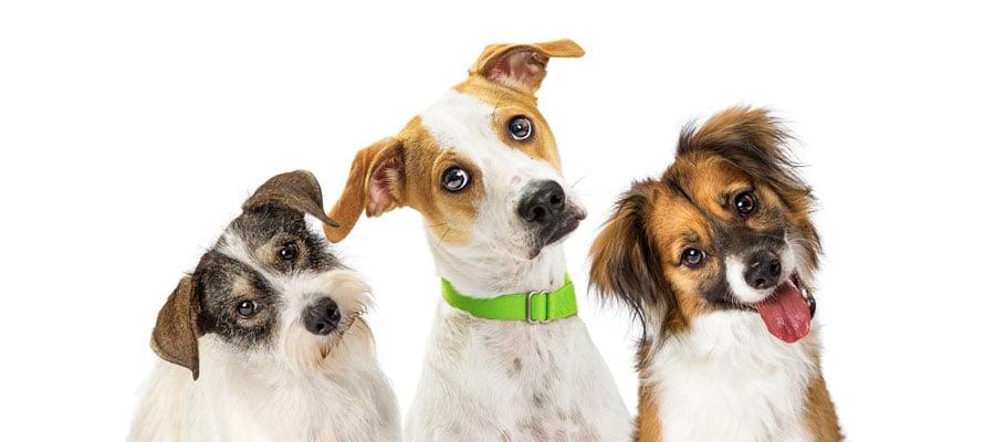Dogs tilting their heads